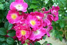 rosier grimpant parfumé longue floraison