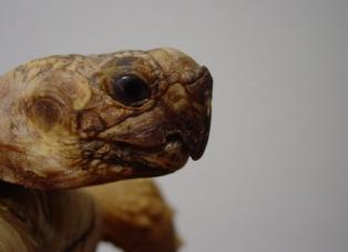"""En esta tortuga podemos apreciar la deformación del pico ( """"pico de loro"""") debida a una EOM"""