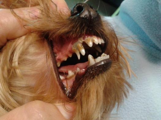 Se observa el colmillo de leche retenido , lo que provoca acúmulo de sarro y desviación de la dentadura
