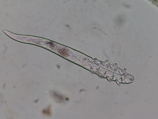 Demodex hurón
