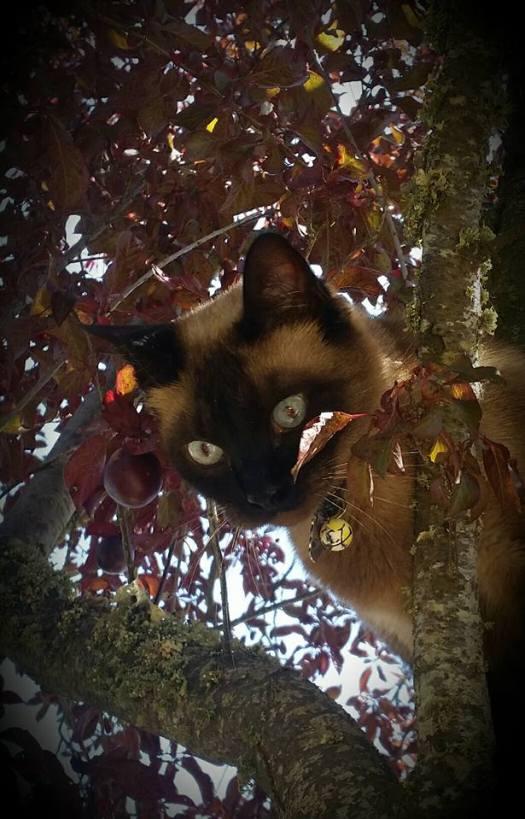2º clasificado gatos adultos: Maya