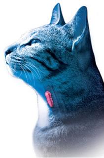 En la imagen puede apreciarse la localizacion del tiroides. La palpación de la glándula aumentada en animales hipertiroideos es una de los signos clínicos