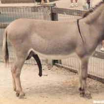 Donkey Dick - Il pene dell'asino