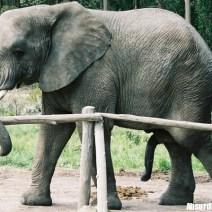 Elephant Penis - Il pene dell'Elefante