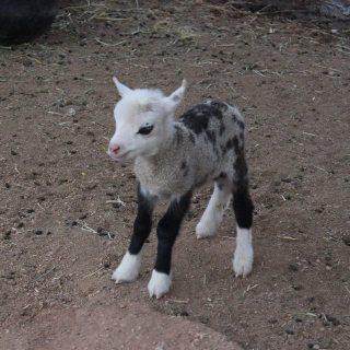 """Incrocio tra una capra e una pecora. In inglese dicono """"Geep"""""""