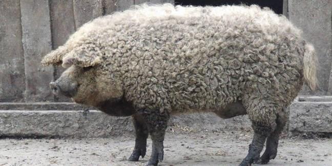 mangalica il maiale che sembra una pecora