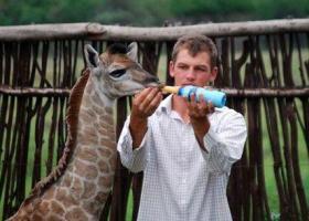 Fenne la giraffa casalinga (3)