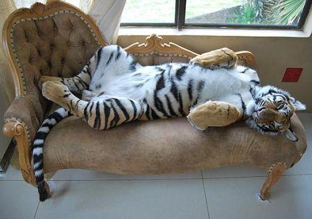 Enzo, la tigre domestica (4)