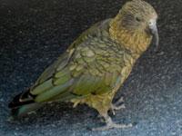 Turista scozzese viene derubato da un pappagallo (1)