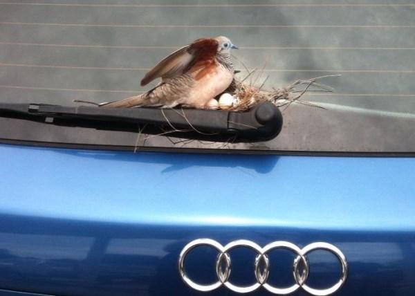 Parcheggia l'auto e dopo 6 giorni ci trova un nido