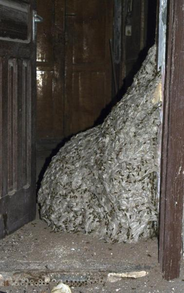 Alveare di quasi 7 metri trovato in una casa abbandonata