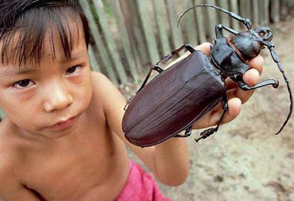 Scarabeo titano, uno degli insetti più grandi del mondo (1)