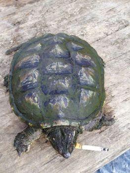 La tartaruga alligatore che fuma 10 sigarette al giorno