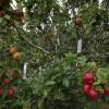 Da vent'anni coltiva un albero con 250 tipi di mele (2)