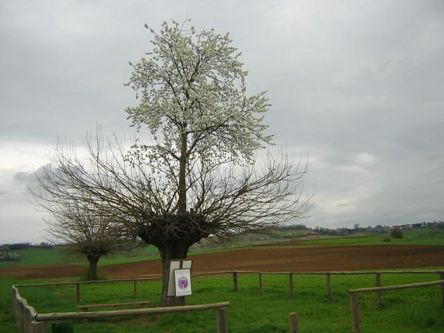 Il ciliegio nato in cima a un gelso (1)