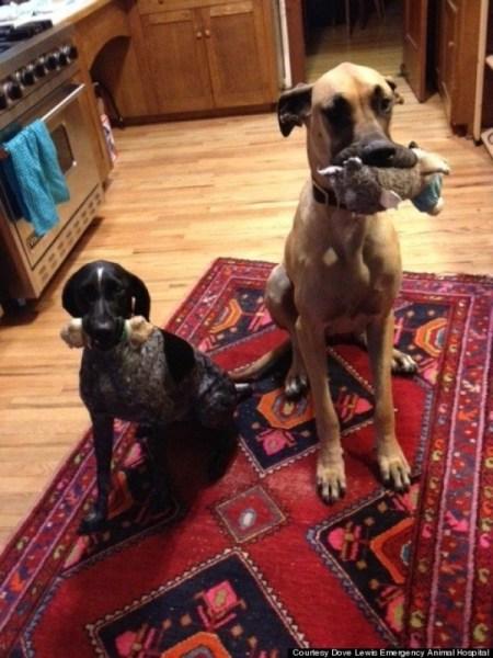 43 calzini e mezzo nello stomaco di un cane (2)