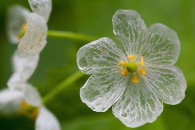 Diphylleia grayi, il fiore i cui petali diventano trasparenti quando piove (2)
