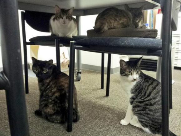 Azienda giapponese riempie l'ufficio di gatti per far rilassare i dipendenti (2)