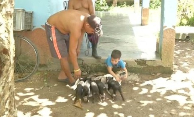 Cane adotta cucciolata di maialini orfani