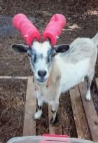 capre-maleducate-4