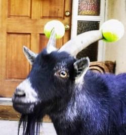 capre-maleducate-5
