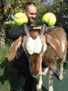 capre-maleducate-8