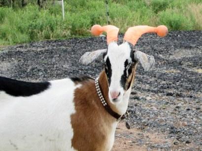 capre-maleducate-9