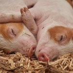 How To Start Profitable Pig Farming Business In Kenya