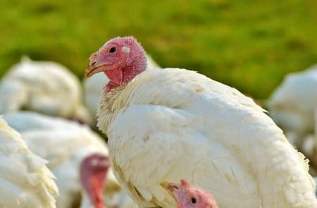 How To Start Profitable Turkey Farming Business And Make Millions Every Month