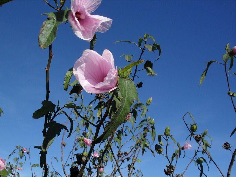 Rosa de río - Hibiscus striatus ó cisplatinus
