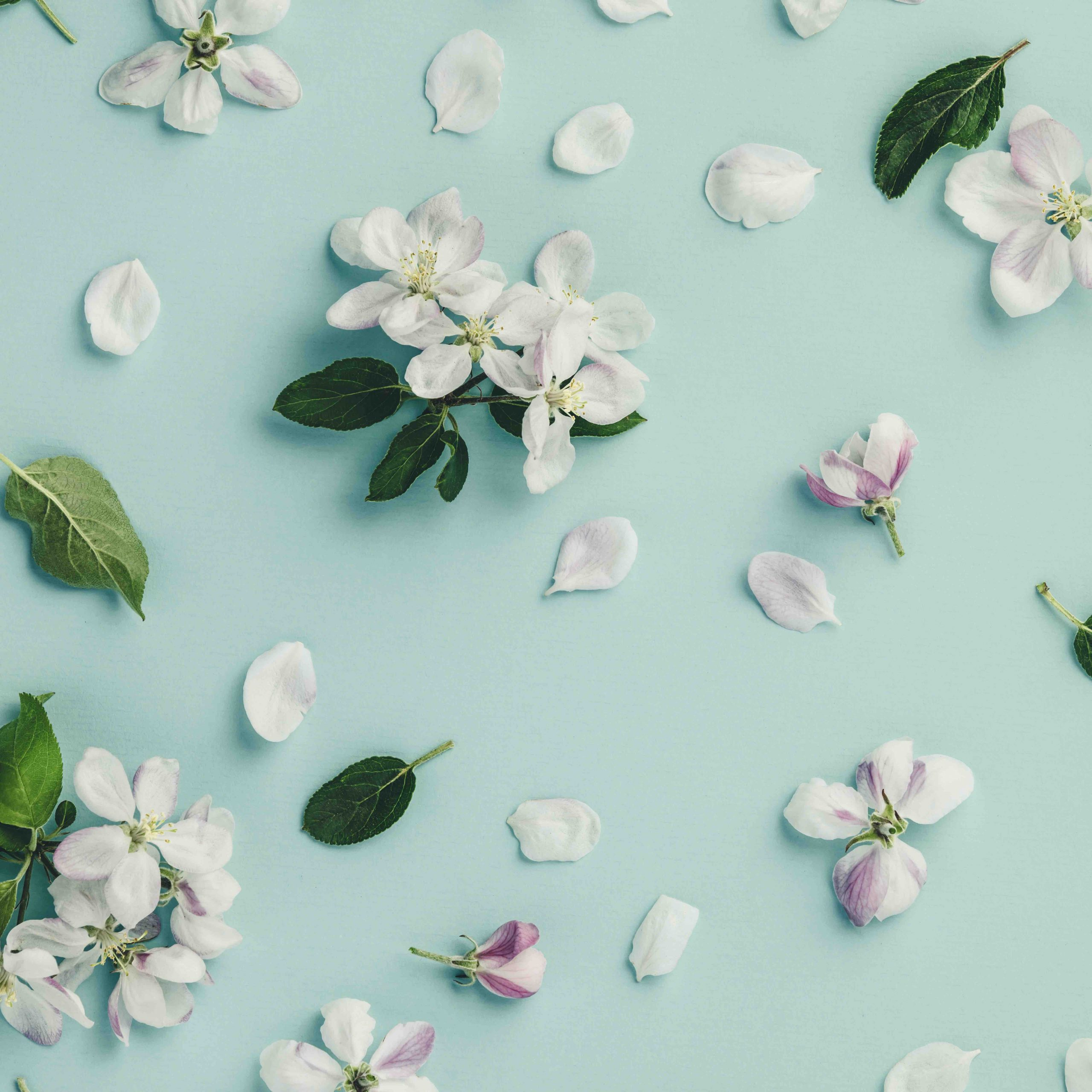 Flat-lay of white apple blossom flowers over light blue background, top view, flat lay