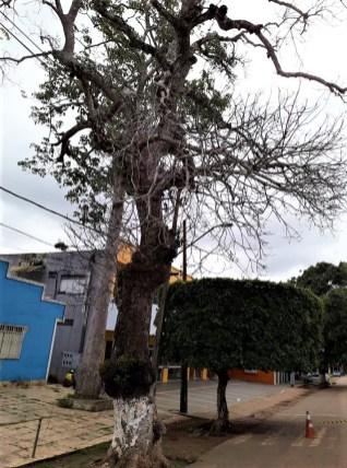 Mangueira_Xapuri