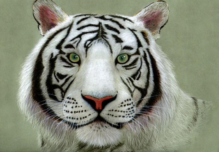 tigre blanco edu web