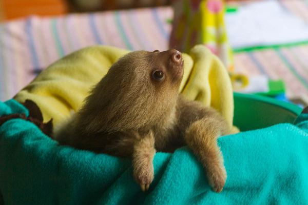 A baby sloth at Toucan Rescue Ranch we saw on our visit