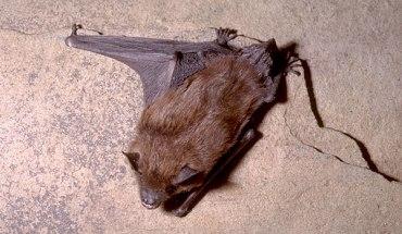 Une chauve-souris brune. - Archives