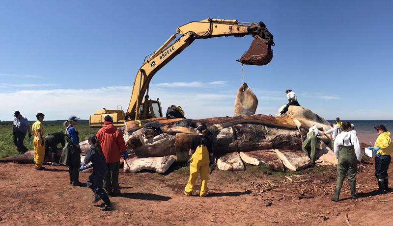 Une baleine noire retrouvée morte.- Archives