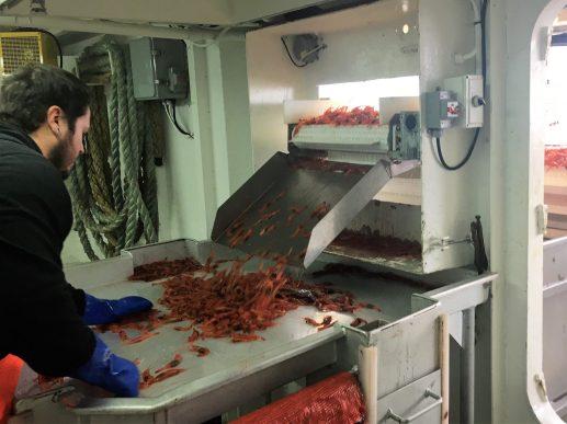 Un membre de l'équipage du Marc-André Guillaume fait le tri des crevettes. - Gracieuseté