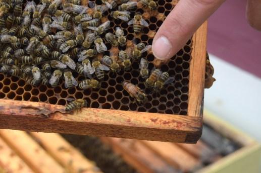 L'apiculteur Denis Cormier pointe du doigt la nouvelle reine de l'une de ses ruches d'abeilles. - Acadie Nouvelle: Alexandre Boudreau