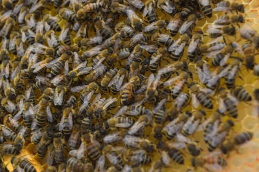 Les abeilles s'activent de plus belle après un printemps froid. - Acadie Nouvelle: Alexandre Boudreau