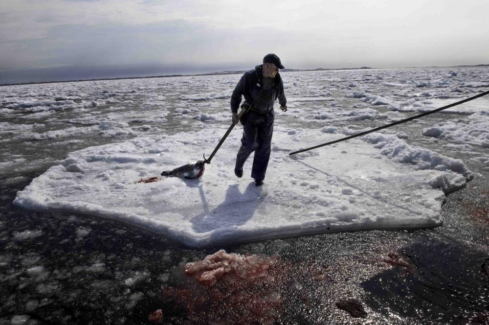 Gracieuseté: Association des chasseurs de phoques intra-Québec