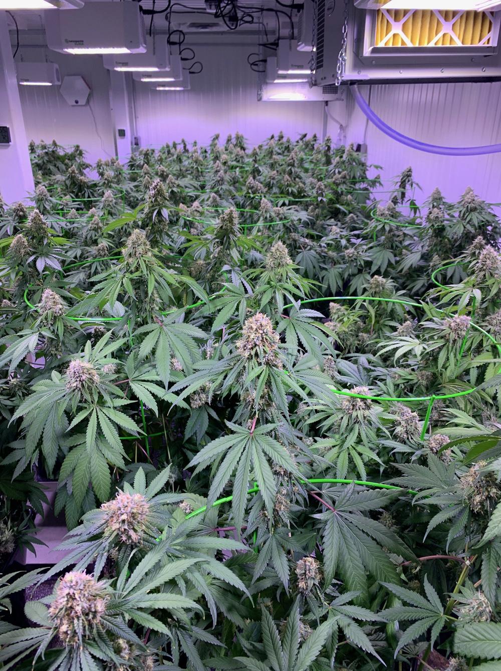 Des plants de cannabis de l'entreprise Crystal Cure, à Shediac Cape. - Gracieuseté