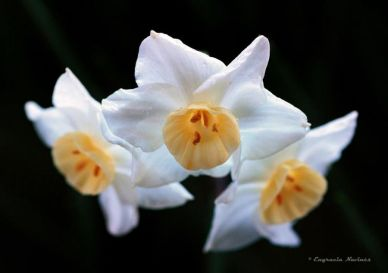 Narcisos - Engracia Navinés