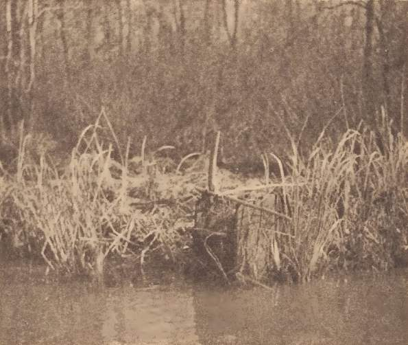 Pamunkey deadfall for raccoons and otters, permanent set in Big gut.