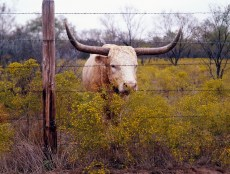 The State of Texas raises longhorn cattle at Abilene State Historical Park on the site of old Fort Griffin, Abilene, Texas