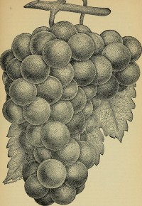 """""""Our native grape. Grapes and their culture. Also descriptive list of old and new varieties"""" (1893)"""