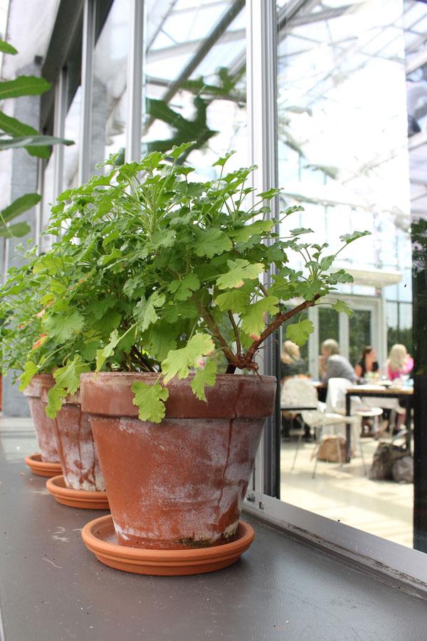 Prachtige geraniums in terracotta potten in restaurant de kas - via Accessorize your Home