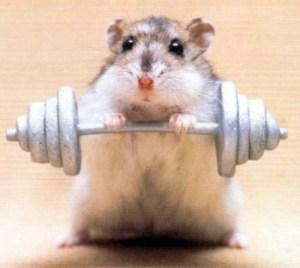 barbell hamster