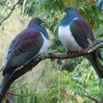 Kereru NZ Wood Pigeon at Wharepuke Accommodation Kerikeri