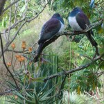 NZ Wood pigeon at Wharepuke Kerikeri