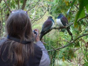 NZ Wood Pigeon at Wharepuke in Kerikeri